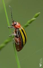 Leaf beetle (Disonycha sp) 10 mm (Daniel Mclaren .:. Costa Rica) Tags: macro costarica beetle leafbeetle chrysomelidae bugwatching stripedbeetle disonychasp