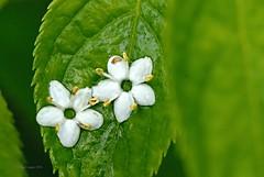 dekorativ (DianaFE) Tags: makro blte tropfen schrfentiefe tiefenschrfe freihandmakro dianafe