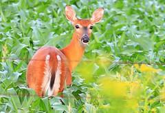 white-tailed deer doe near Lime Springs IA 854A0212 (lreis_naturalist) Tags: county howard reis doe iowa deer larry springs lime whitetailed