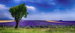 Seul.......... (Malain17) Tags: sky france colors clouds photography image pentax perspective photographers arbres provence paysage lavandes profondeurdechamp