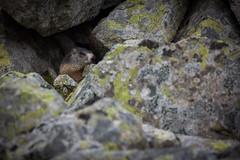 IMG_5410 (Andrei Stirb) Tags: wildlife marmot retezat