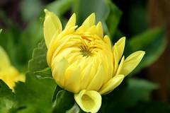 Yellow opening (Alex Mary) Tags: summer plant flower colour nature june yellow gardens birmingham bright foliage buds birminghambotanicalgardens