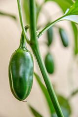 Jalapeno Conchos (stankar) Tags: red brown plant black hot pod grow indoor scorpion dorset trinidad chilli stinger viper extra jalapeno habanero naga moruga bhutlah