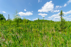 Boggy Terrain (wackybadger) Tags: sky tree wisconsin clouds nikon bluesky cattail tamarack usda usfs usforestservice usnationalforest sphagnummoss larixlaricina chequamegonnicoletnationalforest ashlandcounty wisconsinstatenaturalarea nikond7000 sigma1020mmf4exdchsm sna428