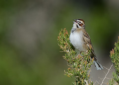 Lark Sparrow (Happy Photographer) Tags: singing sparrow wyoming lark