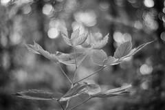 undergrowth @f/1.7 (severalsnakes) Tags: plant leaves leaf exercise pentax bokeh path walk trail missouri sfcc ks2 sedalia statefaircommunitycollege vivitar5017 saraspaedy