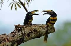 Many-banded Aracari's high in the Amazon rainforest treetop canopy. (One more shot Rog) Tags: tree bird nature birds amazon rainforest wildlife beak galapagos canopy napo beaks amazonrainforest amazonbasin aracari aricari manybandedaracari onemoreshotrog napolodge rogersargentwildlifephotography