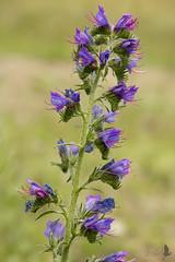 Erba viperina (_milo_) Tags: italy flower fleur canon eos italia blu fiore echiumvulgare 18135 60d erbaviperina