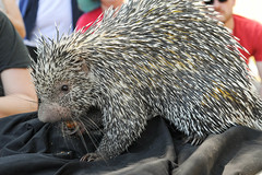 Boris 1 (K.T.) Tags: animals june porcupine combos 2016 porcupines frazierpark obscurasociety workingwildlife stevemartinsworkingwildlife losangelesobscurasociety