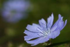 fragile (Alvin Harp) Tags: flower macro nature floral june oregon portland dof sony natur lavender delicate macroflowers 2016 naturesbeauty teamsony sonya7rii sonyilce7rm2 fe2890macrogoss alvinharp
