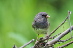 Dark-eyed Junco (spwasilla) Tags: green canon junco darkeyedjunco canon7d tamron150600mm