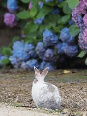 B6250637 (VANILLASKY0607) Tags: rabbit bunny bunnies nature animal japan photo wildlife wildanimal hydrangea rabbits rabbitisland wildrabbit okunoshima
