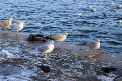 (Jelena1) Tags: winter sea mer bird water animal canon mar vinter agua eau meer wasser sweden stockholm seagull gull hiver schweden aves balticsea more invierno sverige vgel stokholm zima ostsee vatten oiseau mwen estocolmo tenger voda suecia seabird hav stersjn sude fgel laridae ptica galeb svedska merbaltique marbltico avemarina lridos meeresvogel larids oiseaudemer canonefs1855mmf3556is canon600d baltitenger msfglar havsfglar canoneos600d  baltikomore