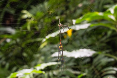 IMG_7634 molting spider  Nephila pilipes (vlee1009) Tags: spiders july mating    molting  2016