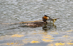 Nest Building (kazmorris) Tags: nature water birds nest egg grebe pennington