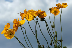 Survol de pavots (rencarrre) Tags: fleurs pavots proxiphoto
