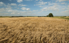 Fields of Gold (sharongellyroo) Tags: summer suffolk walkies inexplore glemsford gellywalk