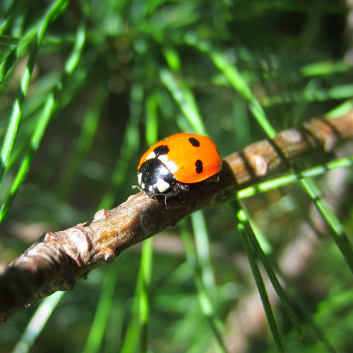 Ladybird on Pine Tree