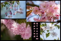 Blossom (rosejones1uk) Tags: pink flowers white collage spring blossom