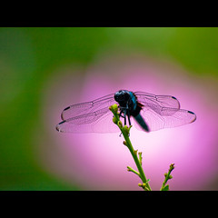 (Masahiro Makino) Tags: japan digital photoshop kyoto dragonfly olympus adobe   70300mm zuiko lightroom   f456 e410 20080730101932e410ls640p
