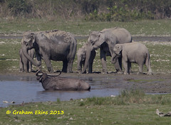 Indian Elephant,  Elephas maximus,  IUCN Endangered,   family group, (Graham Ekins) Tags: india wildlife assam familygroup resident elephasmaximus indianelephant isaf kaziranganationalpark canon400mmf4 iucnendangered canon1dmkiv grahamekins ah9k2658