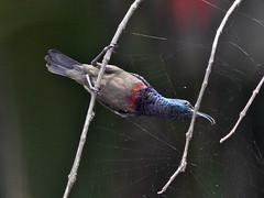 Loten's Sunbird (SivamDesign) Tags: male bird fauna canon eos rebel kiss 300mm x4 sunbird lotenssunbird nectarinialotenia cinnyrislotenius 550d canonef300mmf4lisusm lotens t2i