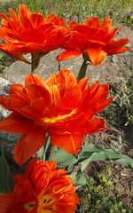 Tulips (cjh44) Tags: closeup tulips rockport x20 brilliantred doubleblooms paintboxgallery