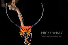 Spiny Back Orb Weaver (Macracantha arcuata) - DSC_3295 (nickybay) Tags: macro spider back singapore long orb horn weaver spiny arcuata araneidae bukittimahnaturereserve macracantha