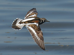 Rola do mar / Ruddy Turnstone (jvverde) Tags: bird nature birds natureza avesemportugal aves ave pssaros avifauna ruddyturnstone arenariainterpres roladomar birdsinportugalportugal