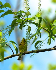 5. Prairie Warbler knocking back a caterpillar (A. Drauglis) Tags: tree bird eating birding caterpillar va frontroyal chokecherry prairiewarbler scbi smithsonianconservationbiologyinstitute setophagadiscolor