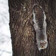 The Stare Down (red_dotdesign) Tags: winter portrait tree squirrel uploaded:by=flickrmobile flickriosapp:filter=nofilter