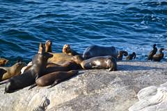 LA JOLLA, CALIFORNIA** (gobucks2) Tags: california birds rocks sandiego wildlife lajolla pacificocean seals oceans lajollacalifornia sandiegocalifornia 2013 april2013 spring2013