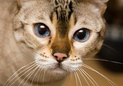 pickle (n.a.) Tags: portrait closeup cat bengal pickle