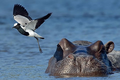 Beauty and the Beast (Duncan Blackburn) Tags: bird mammal nikon wildlife ngc npc lapwing hippo hippopotamus botswana blacksmith chobe plover kasane supershot specanimal specanimalphotooftheday naturesharmony coth5 mygearandme mygearandmepremium mygearandmebronze blinkagain sunrays5