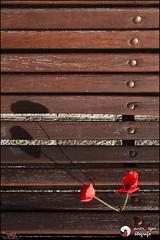 Papaver rhoeas - p365jvr - 14 de mayo de 2013. 134/365 (Javier Vegas (Alias El Vegas)) Tags: street vegas flowers shadow plant flores flower verde planta luz sol bench rojo nikon shadows natural 05 14 flor streetphotography banco cielo campo papaver 134 palencia amapola rhoeas papaverrhoeas d90 2013 p365jvr