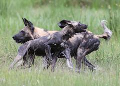 A splashing good time in the Okavango