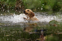Gundogs at Pond Meadow (jane currie) Tags: dog water golden pond gun labrador norfolk splash dummy retrieve