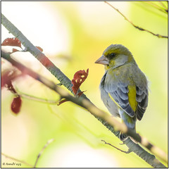 Groenling - Greenfinch (Arend Vermazeren) Tags: bird greenfinch carduelischloris vogel groninger europeangreenfinch zangvogel groenling groenvink nikkor500mmf4pifed tc16amodified