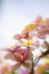 vrviline (eva vee) Tags: pink flowers nature colors yellow flora nikon close blossom bokeh clematis d5000 platinumheartaward vanagram