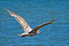 Juvenile Ring-billed Gull (Jeannot7) Tags: ontario bird harbour birdwatcher cobourg ringbilledgull larusdelawarensis