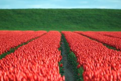 Bokeh in red and green (powerfocusfotografie) Tags: red landscape tulips dyke henk nikond90 powerfocusfotografie