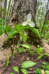 Jack in the Pulpit ... Trillium (Ken Scott) Tags: usa trillium spring michigan may lakemichigan greatlakes wildflowers forestfloor hdr freshwater voted leelanau jackinthepulpit 45thparallel 2013 sbdnl sleepingbeardunenationallakeshore mostbeautifulplaceinamerica
