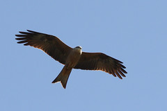 Black Kite (CampaspeBirdo) Tags: kite black birds river lakes australian murray 128 barmah milvus migrans