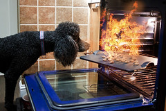 The Biscuit Baker (Runs with Poodles) Tags: black fire oven poodle biscuits griffen dogpaws bluedogbakery eyeoffire dogchal santdardpoodle gromitsend