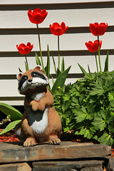 Raccoon & Tulips (LostMyHeadache: Absolutely Free *) Tags: flowers light shadow sun nature grass animal statue canon spring rocks pretty tulips foliage raccoon 1001nights davidsmith calgaryalbertacanada eos60d