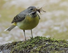 Grey wagtail (Paul Green Photography) Tags: nature wildlife greywagtail nbw canonef400mmf56lusm canon7d paulgreenbirdphotography