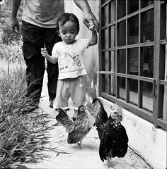 Life in B&W - Follow The Chickens... (mankamen et ella) Tags: life bw chicken 120 6x6 tlr self square lens reflex kid twin mat 124g malaysia medium format malaysian yashica malay bantam develop serama ayam 80mm yashinon 120my