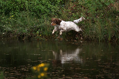 Gundogs at Pond Meadow (jane currie) Tags: dog water jumping pond gun working spaniel leap retrieve gundogs