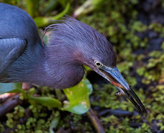 Lunch (Fastball95 (Steve Leach)) Tags: feeding florida eating littleblueheron