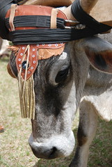 Ox with headdress (B.Polon) Tags: costa latinamerica animal cowboys photo costarica rica ox oxen oxcart yoke ticos sarchi yoked d80 oxcartfestival tierrasmorenas